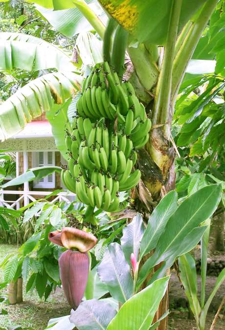 Banana : It is a herb not a tree.