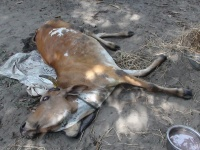 Abused cow