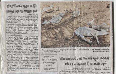 Madurai News Report: Suckling calves for slaughter.