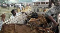 Tamil Nadu cows being transported to Kerala for slaughter.