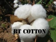 BT cotton