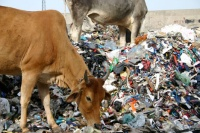 Cows eating garbage in India