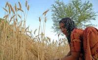 Punjab wheat farmer