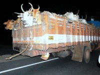 Cattle trafficking from Andhra Pradesh to Kerala thru Tamil Nadu.