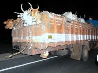 Cattle trafficking from Andhra Pradesh to Kerala thru Tamil Nadu.