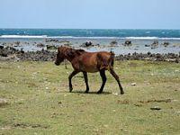 Neduntheevu Island Horse