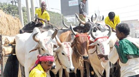 Cattle Smuggling Bangladesh