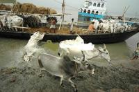 Cattle smuggling to Bangladesh