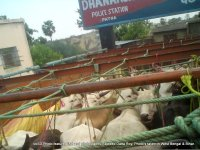 Cattle transport to WB for slaughter.