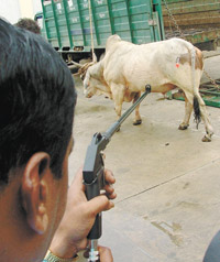 Tranquilizing stray cattle in New Delhi.