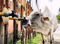 Stray cow drinking water from a stand pipe.