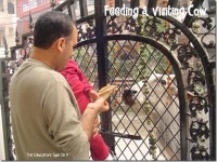 Feeding a cow at the front gate.