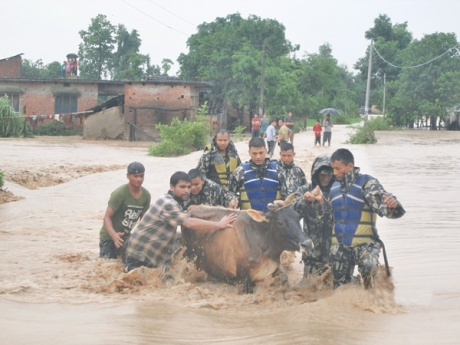 Nepalese army rescue a cow in flooded Bardia