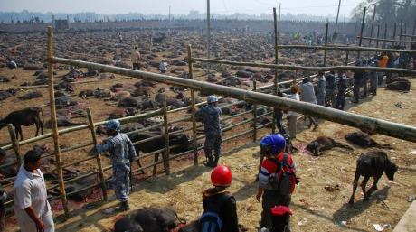 Gadhimai Buffalo Sacrifice