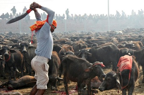 Gadhimai Animal Sacrfice