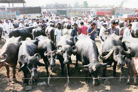 Buffalo fair in Malegaon