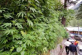Cannabis in Manali, India