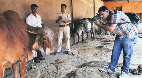 Malegaon Cows