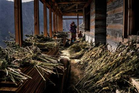 Drying cannabis in the Himalayas