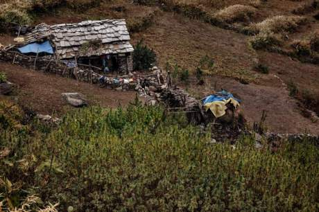 Cannabis plantation in the Himalayas