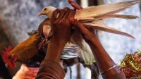 Bird offerings to Gadhimai Devi