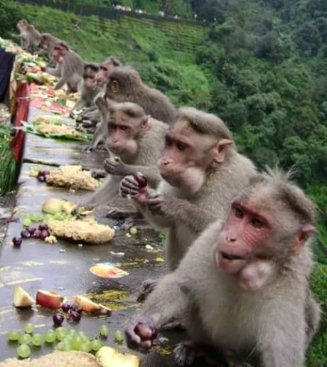 Onam feast for monkeys in Kerala