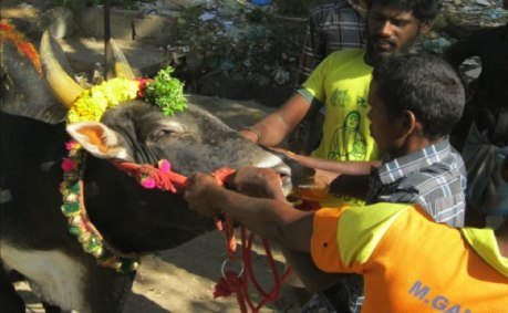 Bull owners and tamers force a yellow-coloured liquid down the throat of a bull at Avaniapuram on 14 January, 2014.