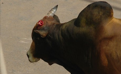 The bull's horn was broken in Avaniapuram on 15 January, 2012.