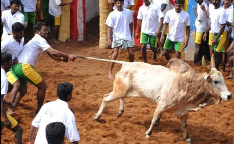 A bull-tamer pulls a bull's tail in the arena in Alanganallur on 17 January, 2012.