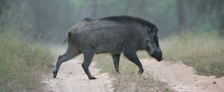 Indian boar (Sus scrofa cristatus), also known as the Andamanese pig or Moupin pig is a subspecies of wild boar native to India, Nepal, Burma, western Thailand and Sri Lanka.
