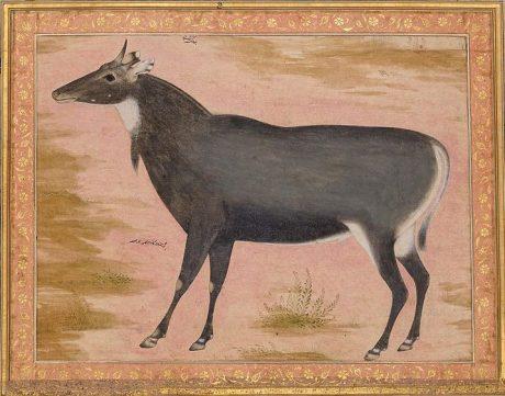 Nilgai (Blue Bull)