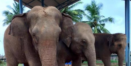 Kanchi Math elephants Sandhya, Indhumathi and Jayanthi