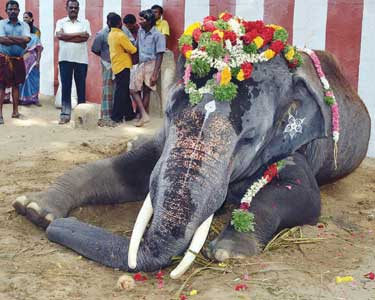 Death of the Thiruchendur Temple elephant Kumaran