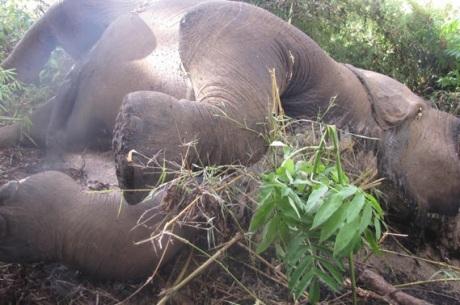 Dead Bull Elephant