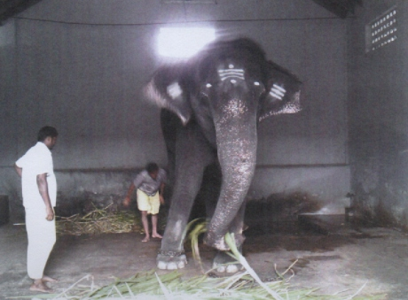 Elephant Kalyani at Patteeswaram