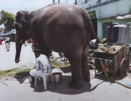 Privately-owned Elephant at Samayapuram