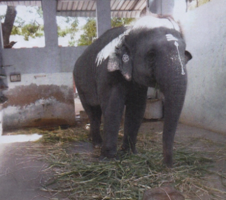 Elephant Devayanai of the Murugan Temple at Thiruchendur