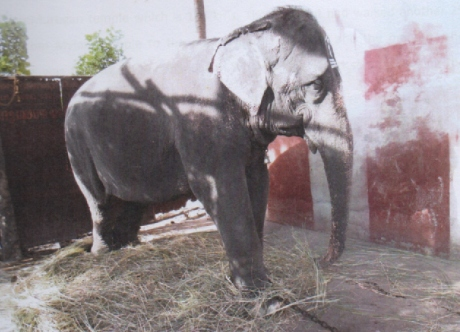Elephant Dharmambal of Thiruvaiyaru