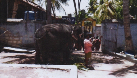 Elephant Akila of the Jambukeswarar Temple at Thiruvanaikaval