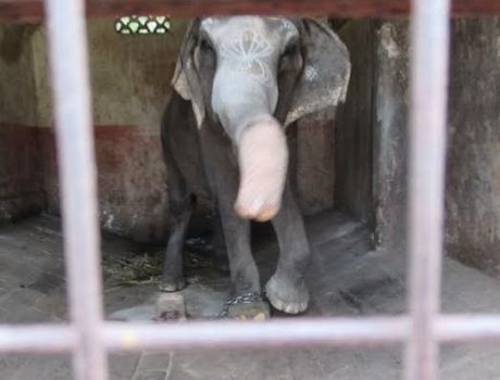 Elephant Gomathi of the Mahalingaswami Temple in Thiruvidaimarudur