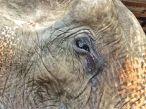 Blind Elephant