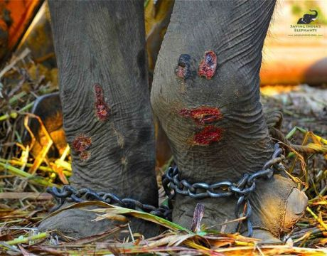 Elephant with wounds on front legs from chains