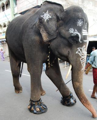 Temple elephant wearing shoes to protect feet in Salem