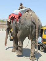 Elephant Raju