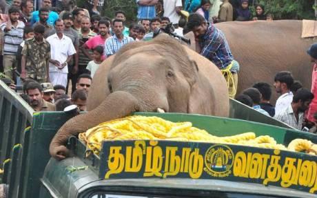 Wild elephant dies after capture