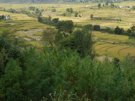 Cannabis in Uttarakhand