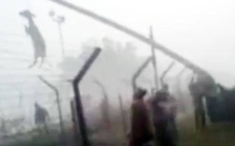 Cow lifted over Indo-Bangla border by neck
