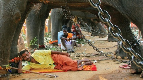 Elephants and mahouts at rest during festival. Elephants are chained so that they cannot move and inch!