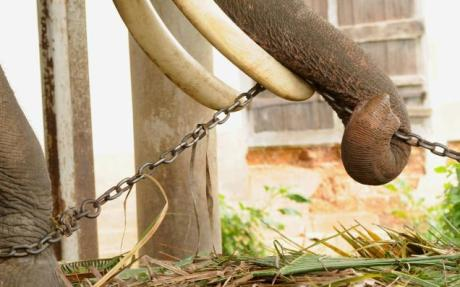 Elephants are always chained except when performing
