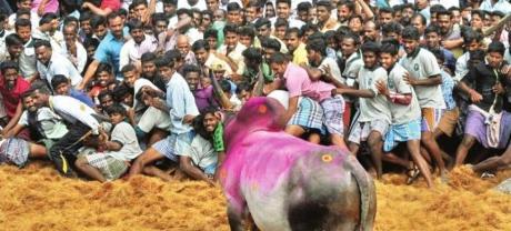 Jallikattu Bull